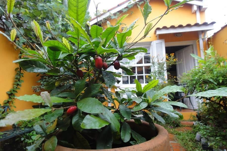 Fruta do milagre - mudas com 3 anos